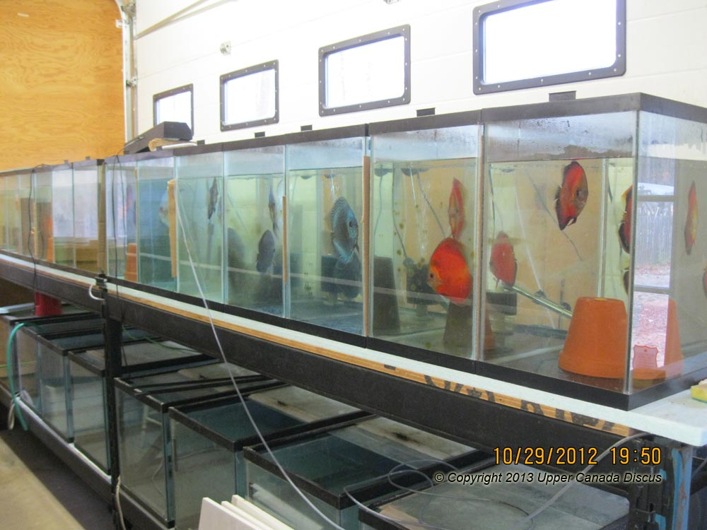 Discus Fish Room Discus Fishroom Development Part 2